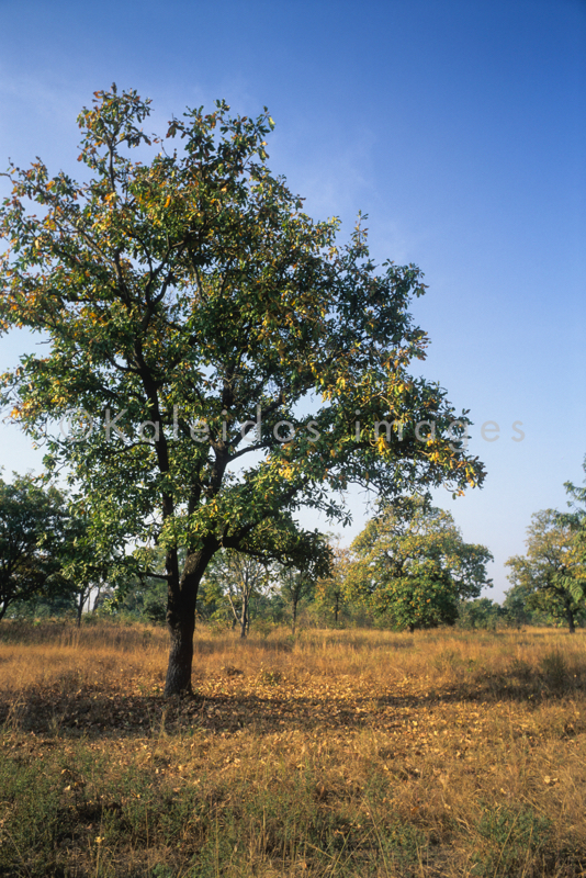Africa;Afrique;Arbre à Karité;Arbres;Benin;Butyrospermum parkii;Bénin;Kaleidos;Kaleidos images;Karité;Savane;Savannah;Shea;Shea tree;Tarek Charara;Vitellaria paradoxa