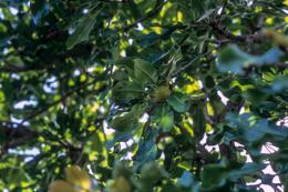 Africa;Afrique;Arbre-à-Karité;Arbres;Benin;Butyrospermum-parkii;Bénin;Fruits;Kaleidos;Kaleidos-images;Karité;Shea;Shea-tree;Tarek-Charara;Vitellaria-paradoxa