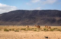 Africa;Desert;Deserts;Djibouti;Dromedaries;Dromedary;Kaleidos;Kaleidos-images;Landscapes;Tarek-Charara