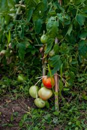 Fruits;Kaleidos;Kaleidos-images;Plantes;Plants;Potager;Solanum-lycopersicum;Tarek-Charara;Tomates;Tomatoes;Vegetable-garden;garden;kitchen-garden