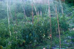 Fruits;Kaleidos;Kaleidos-images;Plants;Solanum-lycopersicum;Tarek-Charara;Tomatoes;Vegetable-garden;Water;garden;kitchen-garden