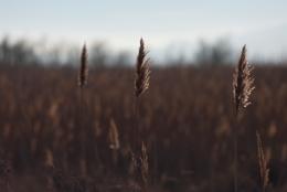 Common-Reed;Kaleidos;Kaleidos-images;Phragmites-australis;Reed;Roseau;Roseau-commun;Roseau-à-balais;Roseaux;Sagne;Tarek-Charara