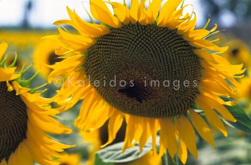 fiore;Blume;flor;flower;fleur;Sonnenblume;girassol;girasole;girasol;sunflower;tournesol