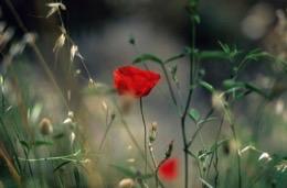 amapola;papavero;Klatschmohn;poppy;coquelicot;fiore;Blume;flor;flower;fleur