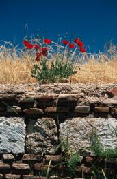Anjar;Common-Poppy;Coquelicot;Coquelicots;Corn-Poppy;Corn-Rose;Field-Poppy;Flanders-Poppy;Kaleidos;Kaleidos-images;Kaleïdos;Klatschmohn;Lebanon;Liban;Middle-East;Middle-East;Moyen-Orient;Moyen-Orient;Near-East;Papaver-rhoeas;Pavot;Pavot-Coq;Pavot-Sauvage;Pavot-des-Champs;Pavot-Coq;Pflanzen;Plantes;Plants;Poinceau;Ponceau;Poppy;Proche-Orient;Proche-Orient;Red;Red-Poppy;Rot;Rouge;Tarek-Charara