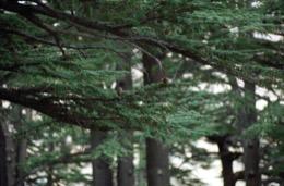 Tarek-Charara;Kaleidos;Kaleïdos;Naher-Osten;Naher-Osten;Middle-East;Middle-East;Proche-Orient;Proche-Orient;Moyen-Orient;Moyen-Orient;Arz;Al-Arz;Zedern;Cedars;Cèdres;Plants;Pflanzen;Plantes;Bäume;Baum;Trees;Arbres;World-Heritage;Patrimoine-de-lHumanité;UNESCO